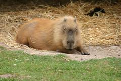 IMG_9647 (LincolnWarrior) Tags: yorkshirewildlifepark animal wild capybara