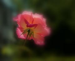 Les dessous chics - The chic underwear (p.franche on - off) Tags: schaerbeek schaarbeek bruxelles brussel brussels belgium belgique belge europe pfranche pascalfranche panasonic fz200 hdr dxo flickrelite rose bokeh superbokek blur fleur flower nature dessous underwear