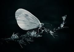 Butterfly (inge_rd) Tags: butterlfy black white monochrom makro mystic magic