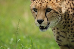 Central African Cheetah (charliejb) Tags: centralafricancheetah cheetah 2016 wildplace wildlife mammal bigcat bristol cribbscauseway patchway