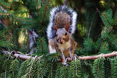Eastern Gray Squirrel (--Anne--) Tags: animal animals nature wildlife spruce pine tree trees squirrel easterngraysquirrel gray squirrels cute