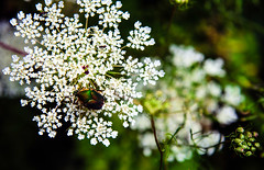 Japanese Beetle on Queen Anne's Lace (Emily Kistler) Tags: america d750 midwest nikon ohio outdoors usa unitedstates edenpark japanesebeetle insect queenanneslace wildcarrot flower wildflower animal green travel nature park plant