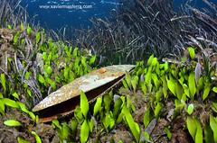 Pinna nobilis (Xavier Mas Ferr) Tags: caulerpaprolifera posidoniaoceanica ibiza eivissa pinna nobilis pinnanobilis nacra enclotxa balears