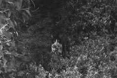 Today's Cat@2016-10-17 (masatsu) Tags: cat thebiggestgroupwithonlycats catspotting pentax mx1 bw