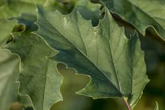 Jimson weed (lsheirer) Tags: jimsonweed hellsbells devil'strumpet devil'sweed tolguacha jamestownweed stinkweed locoweed pricklyburr devil'scucumber plant green fall landscape nature
