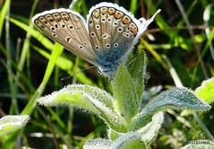 Bluling (ohne genau Bestimmung (HITSCHKO) Tags: schmetterling tagfalter blulinge lycaenidae lycaeninae polyommatini