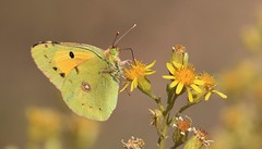 Clouded Yellow Butterfly      (Colias croceus)     (Explored)   12-10-16 (nick.linda) Tags: 5inexplore ragwort cloudedyellowbutterfly coliascroceus amarilla pieridae butterflies butterfliesonflowers insects yellow costablancaspain canon7dmkii canon100400 wildandfree