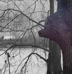 Bear-in-a-Tree (jcAOY) Tags: statepark bear leica 90mm elmaritm fracisslocum