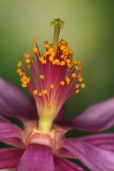 Grewia occidentalis (Pterodactylus69) Tags: flower flor pollen blte stigma anther pollination herrenhusergrten narbe berggarten bltenstaub anthere bestubung staubblatt herrenhausengardens griffel