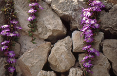 Mallorca 1988: Mauerblümchen der besonderen Art (Delosperma sp.) (fotoculus) Tags: flowers españa flores fleur flora mallorca spanien mittagsblumen mauerblümchen ranke mallorca1988