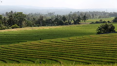 Beautiful ricefields in Bali (asitrac) Tags: landscape nature brightgreen vert green color bali бали 巴厘岛 バリ島 lessersundaisland nusatenggara indonesia indonésie インドネシア southeastasia asia travel 60d canon asitrac geotagged banjarsokakaja tabanan sawah pekutatan 2012 eo thechallengegame