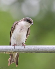 Tree Swallow (Dgrgic) Tags: birds wisconsin wildlife swallow sheboygan treeswallow sheboyganmarsh