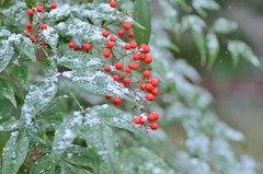 red berries in the snow (snowshoe hare*) Tags: winter snow snowflakes kyoto shrine berries 京都 雪 下鴨神社 南天 shimogamoshrine nandinadomestica heavenlybamboo ナンテン dsc9169