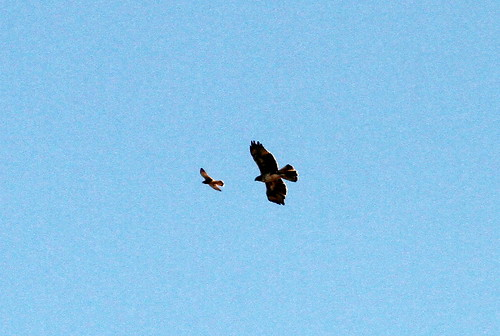 Long-legged Buzzard and Kestral