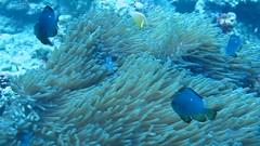 fishes (TravelingShapy) Tags: fish nature coral video underwater natur dive diving tags fisch adventure anemone fishes corals fische tauchen unterwasser korallen koralle tauchgang