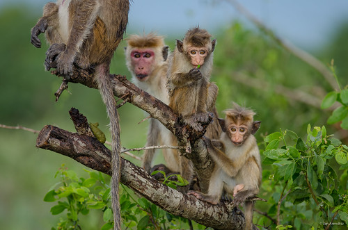 Toque Macaque Family