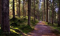 Foresta di Paneveggio (♥danars♥) Tags: alberi explore sole muschio montagna trentino raggi foresta sottobosco paneveggio abigfave allegrifotografi