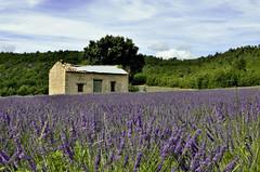 dernière de lavandes pour cette année (christian.man12) Tags: nature fleur pierre violet provence paysage luberon lavande ancien sault vaucluse cabanon