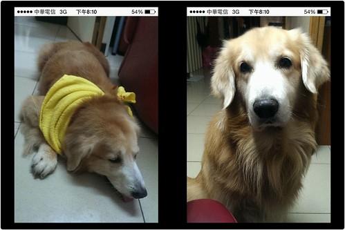 「協尋人狗」新北市淡水找於二三月份領養黃金獵犬的領養人(淡水民宿?)或是你有看過這隻狗,請聯絡協尋人,謝謝您~20141129