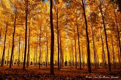 Near Cañete: Autumn Colours (Lucio José Martínez González) Tags: autumn trees españa yellow landscape spain europe arboles ngc paisaje otoño cuenca castillalamancha luciojosémartínezgonzález salinasdelmanzano luciojosemartinezgonzalez