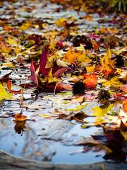 Les Feuilles mortes (olyv70) Tags: autumn france fall floral leaves automne garden leaf jardin parc nantes feuille loireatlantique parcfloraldelabeaujoire parcfloralroseraie