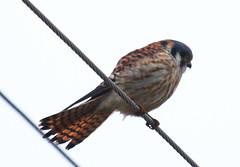 IMG_2965-1 American Kestrel (John Pohl2011) Tags: bird canon john hawk raptor 100400mm birdofprey pohl perching t4i 100400mmlens canont4i