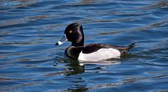 Male Ringed-Necked Duck - Martinez, CA (Ethan.Winning) Tags: birds northerncalifornia ducks northamerica waterfowl avian carquinezstraits ringedneckedduck dailynaturetnc13 dailynaturetnc14 martinezestuary ethanwinning eawinning