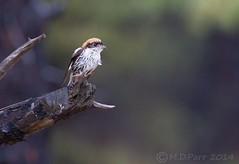 Woodchat Shrike (Lanius senator) (M.D.Parr) Tags: bird nature birds greece ornithology halkidiki martinparr woodchatshrike laniussenator shrikes lanidae martindparr mdparr saniwetlands