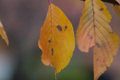 Autumn leaves of cherry (Kashinkoji) Tags: autumn leaves cherry sony slt a77