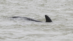 Number 7  of 13 dorsal fin images for future reference file.  Long-finned Pilot Whales (Graham Ekins) Tags: uk essex cetaceans globicephalamelas 4379 colnepoint longfinnedpilotwhales canon1dmkiv grahamekins canon300mmf28ii 14extiii finimage7 globicephalamelasmelas