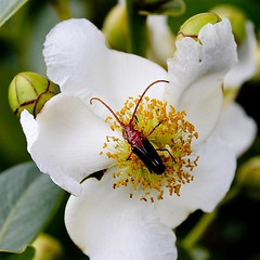Besouro 35 (Mauricio Mercadante) Tags: beetle jardimbotnico coleoptera besouro coleptero