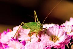 Friendly visitor :) (boutmymail) Tags: grasshopper sigma70300mm sonya65v
