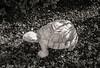 Garden Turtle. Kfar Hananya, Galilee