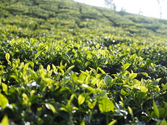 Tea cultivation plantation garden Tee Pflanze Munnar India (c) (hn.) Tags: copyright india plant berg leaves rural garden leaf asia asien heiconeumeyer tea farm indian hill farming pflanze kerala plantation shrub blatt bltter tee hang teagarden indien slope cultivation teaplantation southindia munnar anbau southasia copyrighted 2014 plantage tealeaves teatree hgel tealeaf indisch teaplant teafarm abhang teepflanze teeplantage idukki teacultivation teeblatt teacountry teebltter sdindien teebaum sdasien idukkidistrict teeanbau anbaugebiet teashrub tp201415