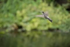 Colibr (CCurotto) Tags: chile del mar nikon hummingbird via ave nacional pjaro jardn colibr botnico 55300 d3100