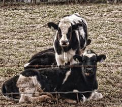 The Ladies (creepingvinesimages - struggling to keep up!) Tags: virginia cows pasture farms greenecounty