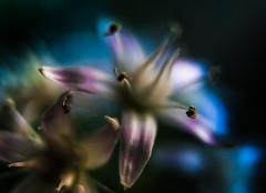 Jade Flower Abstract (Don White (Burnaby) Thanks for the Three Million V) Tags: macro bokeh extensiontube flowersplants jadetree 26mm sel1855 nw524