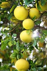 115in2015 #51 citrus (Karen Juliano) Tags: sunlight tree fruit sandiego orchard grapefruit citrus