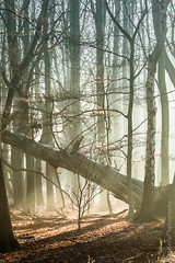 The mighty fallen (NED_KELLY_GUY) Tags: autumn trees winter tree nature backlight forest woodland timber foggy frosty fallen atmospheric hertfordshire sunbeams morningrays photobyalankelly