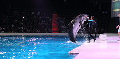 DOLPHIN SHOW (ceebeemiranda) Tags: flowers people sunlight building beach water coffee breakfast bar night landscape island lights restaurant sand dubai chairs stage paintings tent palm swimmingpool veranda master abudhabi jungle midnight falcon filipina poolside performer unitedarabemirates omelette parachute coconuttrees rasalkhaimah emiratespalace birdshow dancingfountain gulfair beachumbrella dolphinshow acrobatshow funride creekpark christmasandnewyear roominterior worldtallestbuilding bluegreenpurple 1dmarkiv addresshotel solsoab etihadtowers cbmiranda burjkhalifa boracayclub newyear2015 alhamrapalacehotel asianshotel goldenmosquechef
