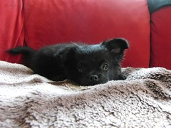 Tyr (Mientsje) Tags: dog pet chihuahua black animal puppy longhair hond chi pup zwart lang tyr hondje haar