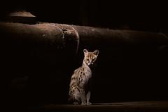 Eye to eye. Genet (arevaphotography) Tags: africa nature silhouette kenya shy predator wildanimals genet nightanimals viverrinae