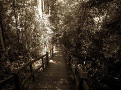 DSCN0477 (vhenryz) Tags: park trip trees sky cloud nature water clouds stairs forest vintage river reserve national mangrove jungle brunei ulu temburong
