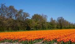Dutch Countryside (romanboed) Tags: leica flowers blue trees sky orange holland netherlands dutch field landscape countryside spring tulips farm sunny m agriculture 50 summilux 240