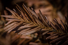 And the leaves that are green turn to brown (katzenfinch) Tags: brown fir justleaves macromondays