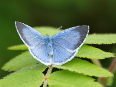 Little lovely (johnb/Derbys/UK) Tags: blue colour nature butterfly nice wings pov wildlife tiny myworld mygarden commonblue