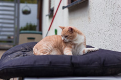 Stanley (No_Water) Tags: red ginger tabby tiger stanley catt