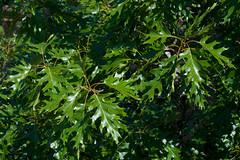 Quercus aff. shumardii (Eric Hunt.) Tags: green leaf oak quercus redoak fagaceae