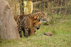 Islands at Chester Zoo (145) (rs1979) Tags: zoo islands tiger chester sumatrantiger chesterzoo
