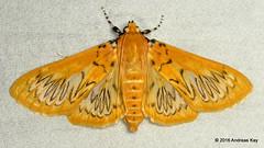 Crambid moth, Polygrammodes sp. (Ecuador Megadiverso) Tags: ecuador moth crambidae polygrammodessp
